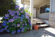 Front Porch, Hydrangea